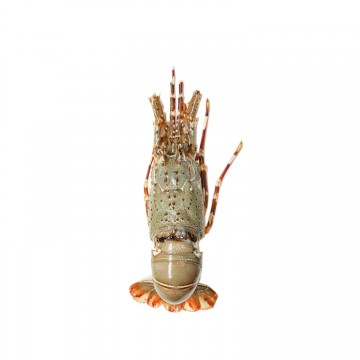 Bamboo Lobster ( 5 Pieces)